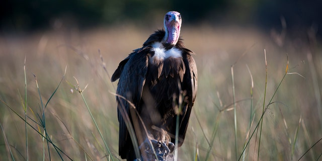 File photo - A Hooded Vulture (Necrosyrtes monachus) waiting to get to the scraps of a lion kill at the Linyanti Reserve near the Savuti Channel in northern part of Botswana.