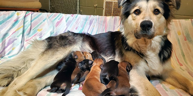 Casey and her nine puppies were found sealed in a box at a Canada landfill last week, officials said.