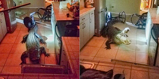 Clearwater, Fla., police captured an 11-foot alligator that broke into a woman's home early Friday.