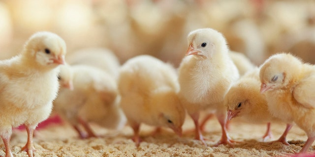 Germany's Federal Administrative Court ruled on Thursday that hen breeders can continue to kill male chicks after they hatch.
