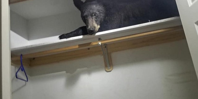 Black bear nestles down for nap in closet after entering Montana home