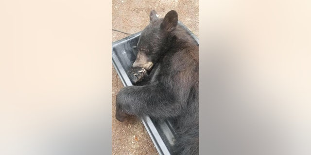"Deputies tried to get the bear's attention from outside but the animal just ""slowly stretched, yawned and, unamused, looked toward the door."""