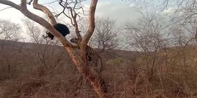 This is the moment a wild bear scared away a tiger that tried attacking it in the Ranthambore National Park in the Sawai Madhopur district of Rajasthan in India. The feline can be seen chasing the bear on the tree as it initially tries to escape and hangs from the tree. (Credit: SWNS)
