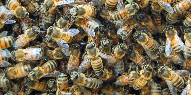 Westlake Legal Group bees-iStock Arizona bee swarm kills three dogs, fire officials say fox-news/us/us-regions/southwest/arizona fox-news/science/wild-nature/insects fox-news/science/wild-nature fox-news/lifestyle/pets fox news fnc/science fnc David Aaro d822ada3-2757-55de-bb9b-75e24aa3d65c article