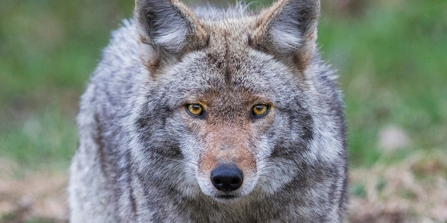 A coyote allegedly lunged at a woman and her 4-year-old child at a New Jersey park. Police killed it. (istock)