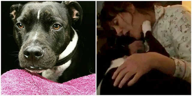 This waggish footage shows a witty Staffordshire Terrier called George appearing to observant 'Hello' to hail his owners Kathryn Schofield, 36, in an act of cranky class communication. (Credit: SWNS)