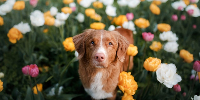 Some popular summer flowering plants, such as tulips, pictured, can be toxic to the health of dogs and cats.