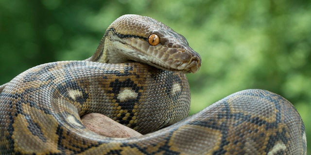 Westlake Legal Group iStock-Reticulated-pythons Police hunt for 9-foot python that could heat a human loose in British city Stephen Sorace fox-news/world/world-regions/europe fox-news/science/wild-nature/reptiles fox news fnc/world fnc article 39508554-05e9-5076-be79-752790162c71