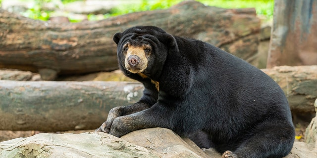 Zarith Sofia Yasin reportedly said she thought she was rescuing a dog but instead rescued a sun bear, pictured here.