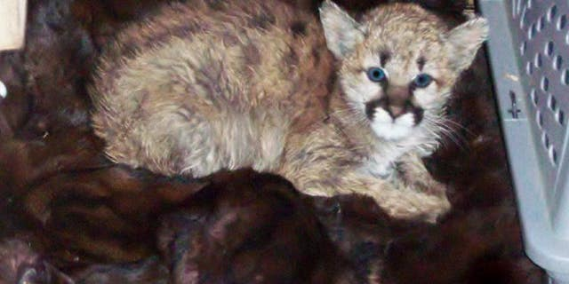 Colorado Parks and Wildlife officials wrote on their Twitter that the feline had been rescued from the Walsenburg residence in November as a three-month-old kitten after it had fallen ill because of the meaty snack.