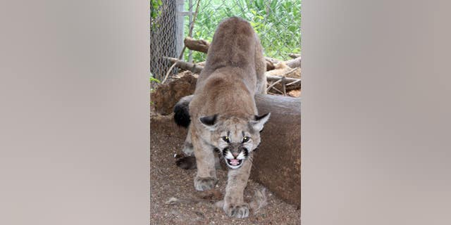 The mountain lion was finally returned to the wild on Saturday, approximately seven months later,by the Wet Mountain Wildlife Rehabilitation in Wetmore.