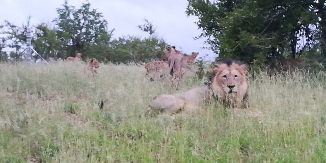 Ronica Jansen has been seeing lions around Phalaborwa out in the open, since 2010, photographing a group of them in February.