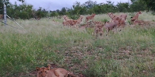 """Jansen adds that when she took photos of the lions just outside the town """" I was very lucky. I can't explain the feeling. They were crossing the road """""""