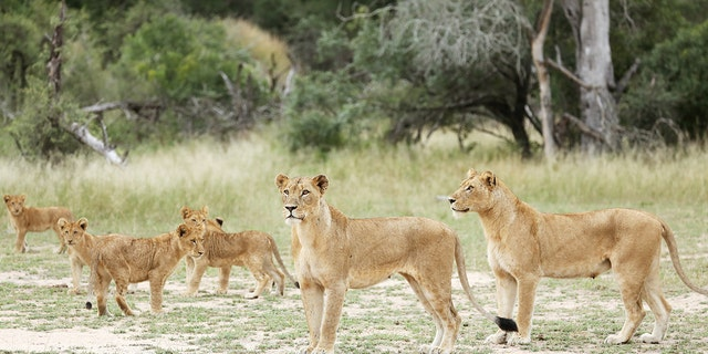 Westlake Legal Group lions-at-Kruger-National-Park South Africa tells public to be 'on alert' after 14 lions escape from Kruger National Park Greg Norman fox-news/world/world-regions/africa fox news fnc/world fnc article a7918822-5a39-525c-93b5-d56ec961d6f1
