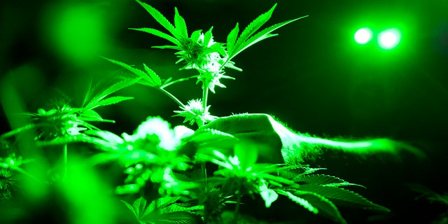 Marijuana plants in a grow room using green lights during their night cycle in Gardena, Calif.