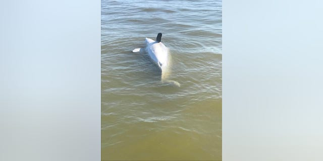 One of several dolphins that have washed up on the Mississippi Gulf coast after the opening of the Bonnet Carre Spillway inundated the Mississippi Sound with extra fresh water released from the Mississippi River.