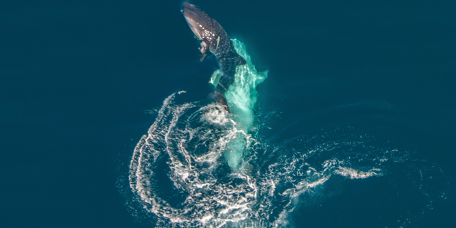 A 30-foot-long male whale shark sidles up to a juvenile female, hoping to mate (they didn't). This aerial photo, taken over Ningaloo Reef in Australia, is the first known observation of a whale shark mating ritual.