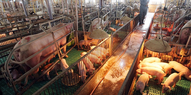 Westlake Legal Group pigs-asia-1-AP Millions of pigs in Asia culled as African swine fever spreads Nicole Darrah fox-news/world/world-regions/south-korea fox-news/world/world-regions/asia fox-news/world/conflicts/north-korea fox-news/health/infectious-disease/outbreaks fox-news/health fox news fnc/world fnc article 2e4af490-5ad5-545c-b2df-3d24481c132b