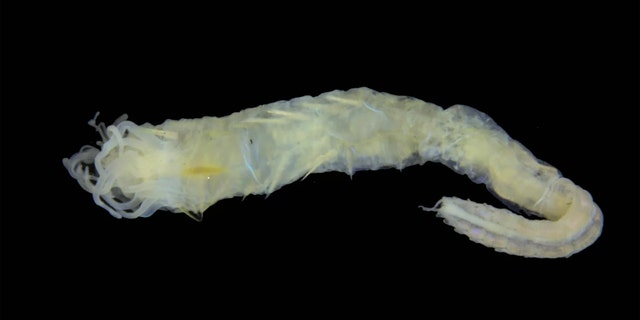 The newly described marine worm Ampharete oculicirrata has a jumble of tentacle-like appendages near its mouth, and a pair of beady black eyes on its bum. (Credit: National Museums Scotland)