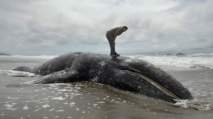 Washington state landowners are asked to take dead whales