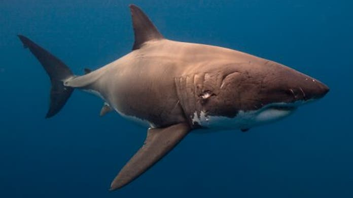 SEE IT: giant great white shark stuns fisherman during real-life 'Jaws' moment