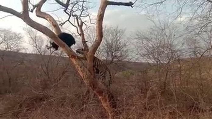 Incredible video shows bear's death-defying escape from a hungry tiger