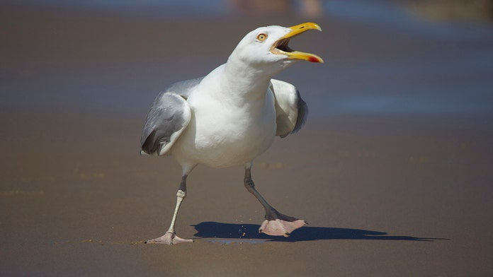 Seagull attacks kept English couple stranded in their home