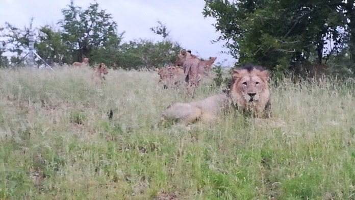 Dozens of lions free to roam free near South African town: 'You don't really go jogging or riding a bicycle...