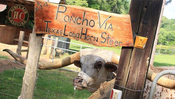 Texas longhorn earns the name, breaking Guinness record for length