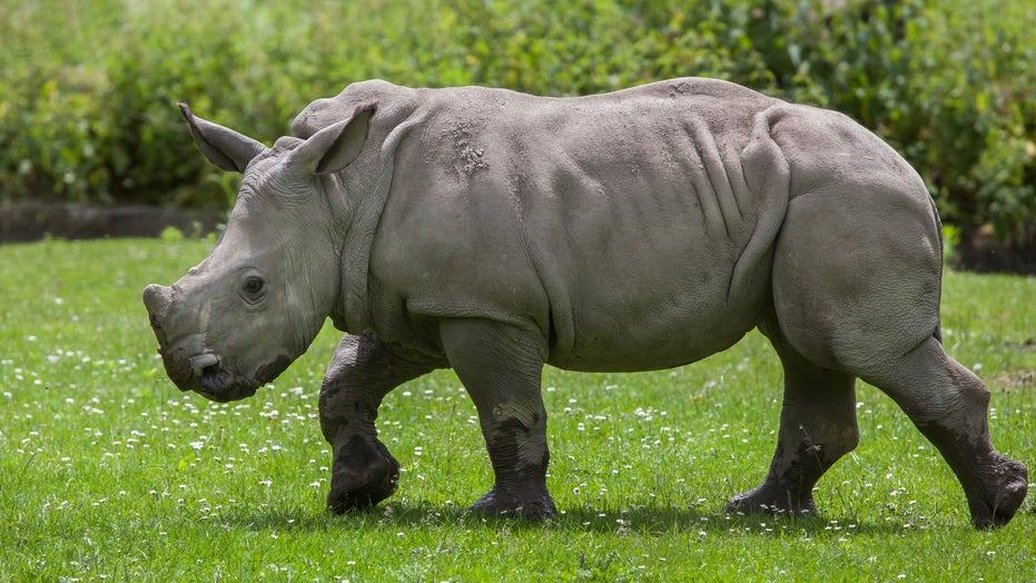 Florida zoo fined $14G after 4,000-pound rhino injures worker | Fox News