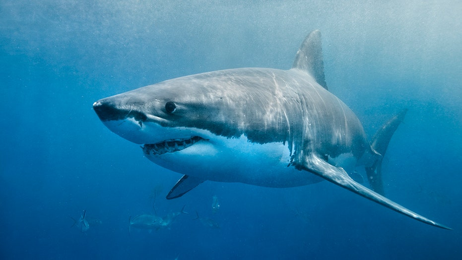 A 9-foot long great white shark, with his own Twitter account and over 2,300 followers was tracked off the Delmarva Coast in the Atlantic Ocean.
