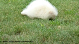 Rare albino porcupine spotted at Maine museum