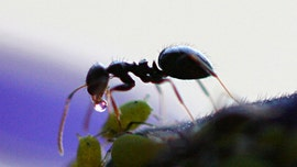 Deadly fungus creates 'zombie ants' and hijacks their jaws to cause suicide
