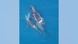 Some whales 'whisper' to their calves to evade predators