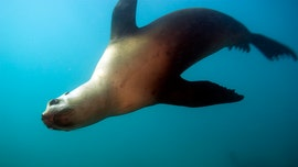 Sea lion deaths OK'd for Pacific Northwest as feds look to help threatened fish