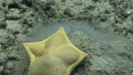 Starfish looks like ravioli, goes viral