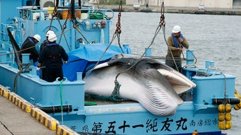 Japan resumes commercial whaling after 30 years -- despite low demand