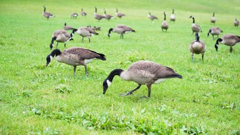 Some Denver residents protest killing of Canada geese at city parks to manage the growing population