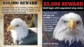 Reward for bald eagle stolen from Long Island refuge climbs to $20,000