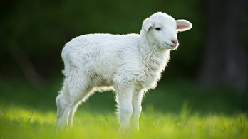 Award-winning lamb under investigation for performance-enhancing drugs