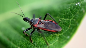 Are kissing bugs dangerous? Here's what to know