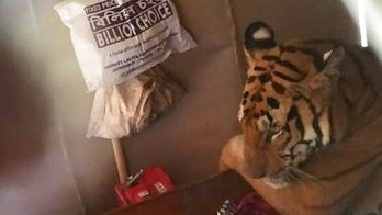 Tired tiger takes cat nap inside family's living room while fleeing fatal floods in India
