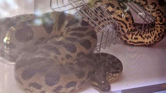 New York man finds missing anaconda under van dashboard