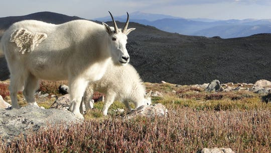 Colorado officials warn humans to not feed wildlife after mountain goats engaging in 'unnatural behaviors'