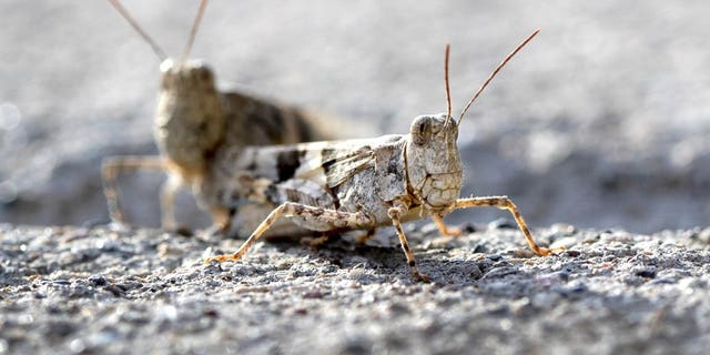Grasshopper swarms have Las Vegas feeling antsy