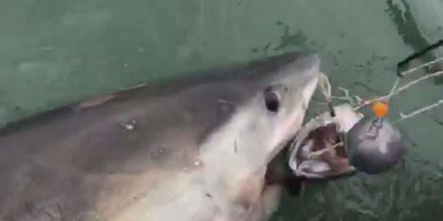 Great white shark drags fishing boat around San Francisco Bay