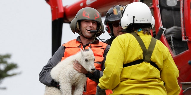 "Derrick Halsey, a wildlife capture specialist known as a ""mugger,"" hands off a kid mountain goat to Olympic National Park Wildlife Branch Chief Patti Happe Tuesday, July 9, 2019, after airlifting the goat and two others to Hurricane Ridge in the park near Port Angeles, Wash. (AP Photo/Elaine Thompson)"