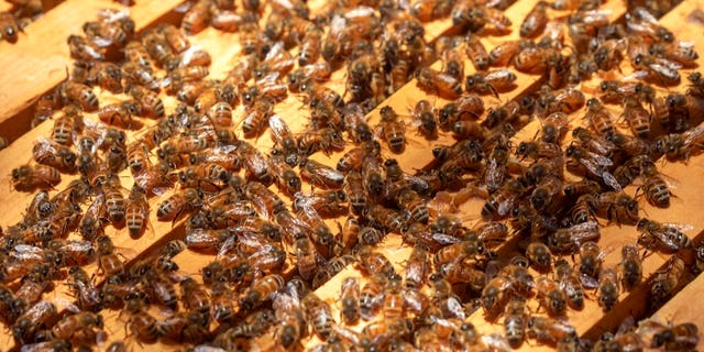 Westlake Legal Group AP19197736411367 Florida beekeeper says someone may have poisoned millions of his honey bees fox-news/us/us-regions/southeast fox-news/science/wild-nature/insects fox news fnc/us fnc d06332cd-7dd7-578a-b5d5-af507904c4bc Bradford Betz article