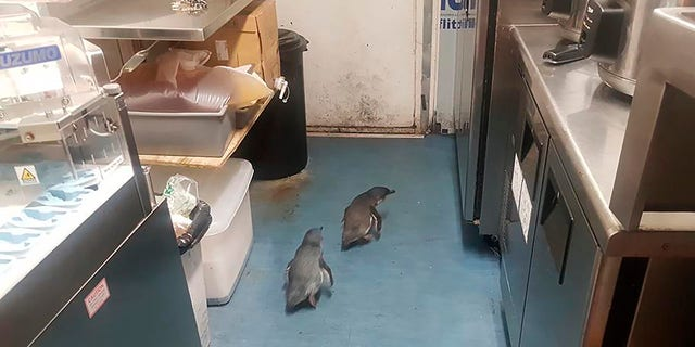 "A pair of ""vagrant"" blue penguins have been forcibly removed after waddling into a New Zealand sushi shop and refusing to leave. (Shawnee Kim via AP)"