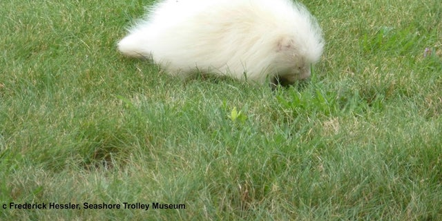 In this Tuesday, July 16, 2019, photo taken provided by the Seashore Trolley Museum, a rare albino porcupine waddles around near the Seashore Trolley Museum in Kennebunkport, Maine. The museum asked for help identifying the strange animal after it appeared on the grounds this week.